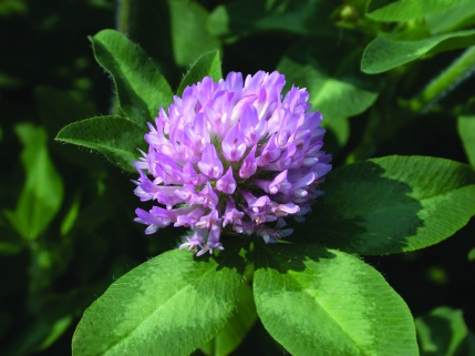 Red Clover Flower.Keith Johnson